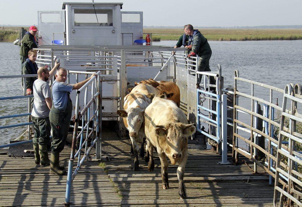 Seefahrt für Rinder
